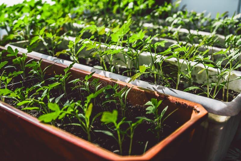 Almácigos del tomate que crecen en un alféizar fotografía de archivo
