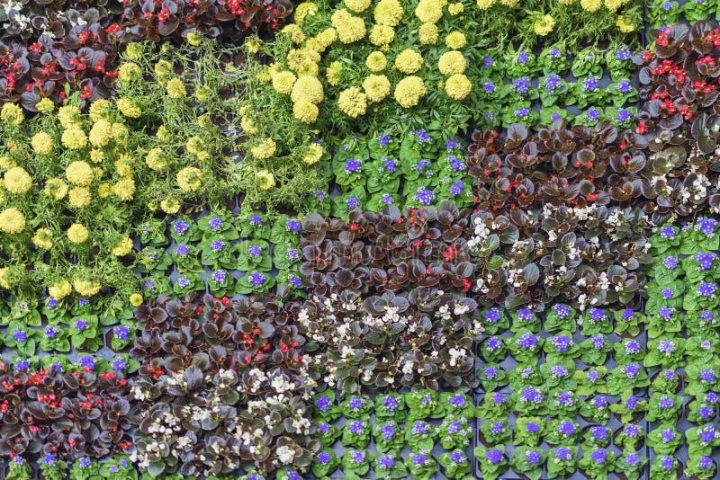 Almácigos florecientes jovenes con las flores coloridas en los potes para los macizos de flores de la ciudad, estampados de flore fotos de archivo