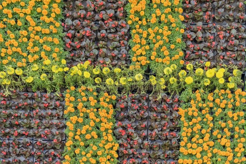 Almácigos florecientes jovenes con las flores coloridas en los potes para los macizos de flores de la ciudad, estampados de flore imagenes de archivo