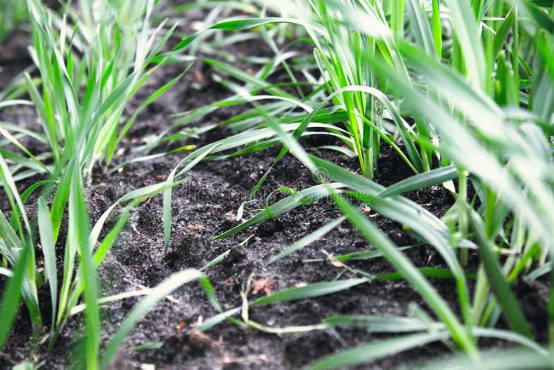 Almácigos jovenes del trigo y de la cebada que crecen en el campo en fila foto de archivo