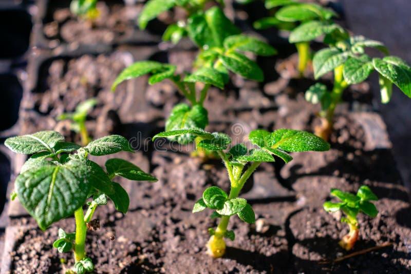 Almácigos varietales de las patatas Tub?rculo brotado de la patata Lanzamientos del verde de la semilla de la patata en el fondo  imagenes de archivo