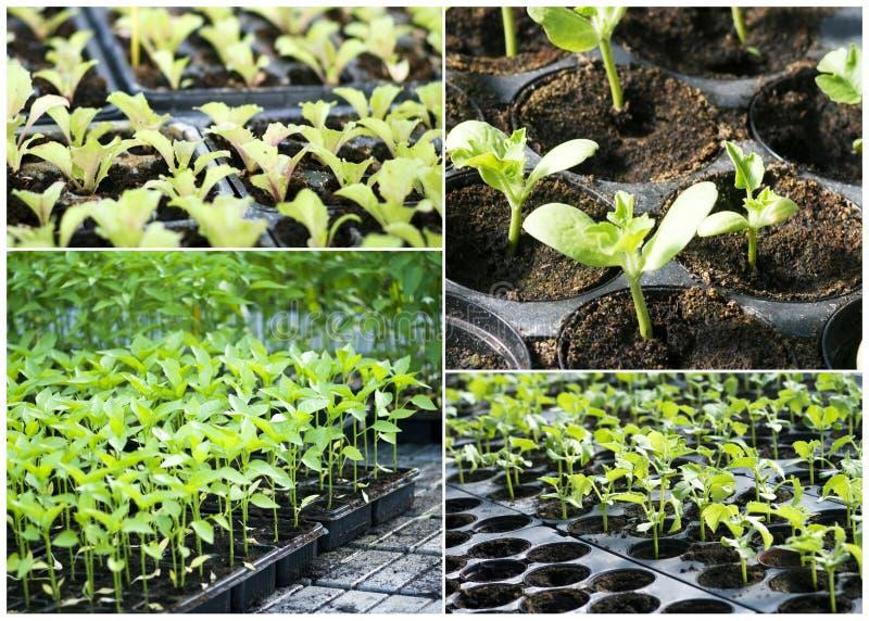 Almácigos vegetales orgánicos fotografía de archivo