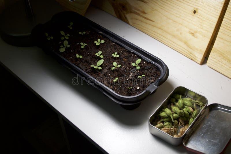 Almácigos y seedpods que cultivan un huerto interiores bajo luz fotografía de archivo