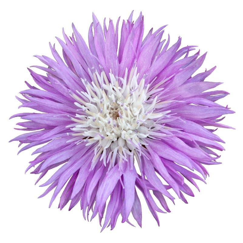 Almíscares lilás bonitos do Amberboa da centáurea da flor Isolado no fundo branco fotos de stock