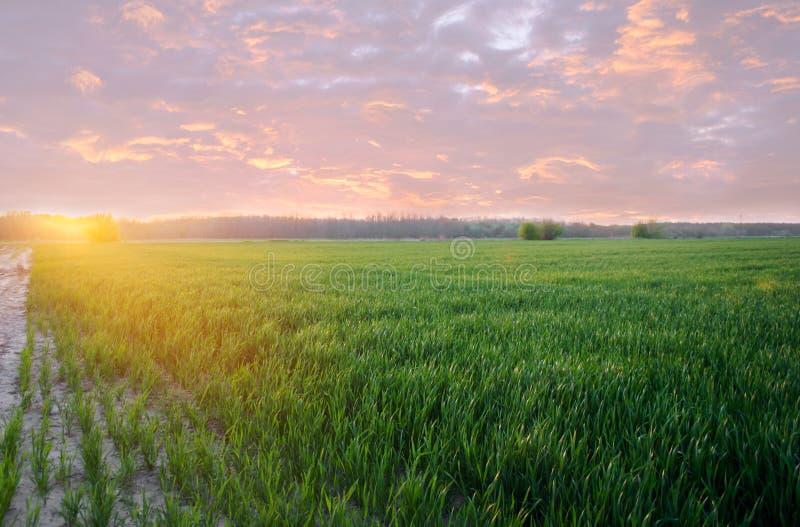 Alm?cigos verdes jovenes del trigo que crecen en un campo en la puesta del sol Agricultura farming Cultivo del trigo y de las cos imagen de archivo libre de regalías