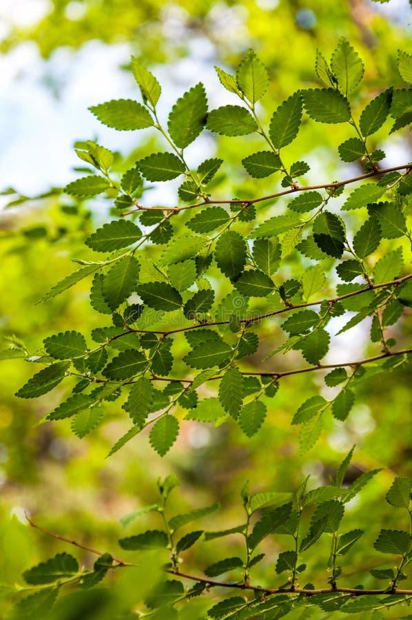 Alm-träd unga sidor Selektiv fokus royaltyfria bilder