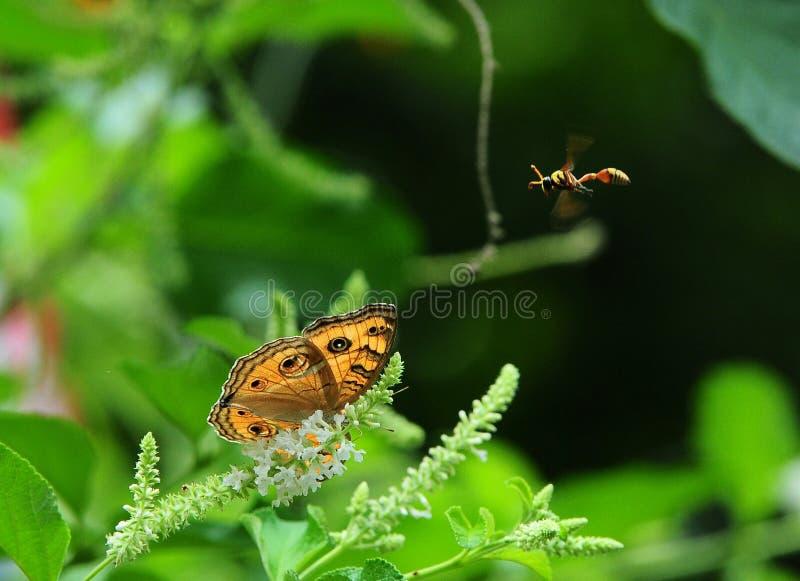 almana di junonia della pansé del peacck della farfalla fotografia stock libera da diritti