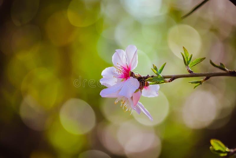 Almande blomma royaltyfria foton
