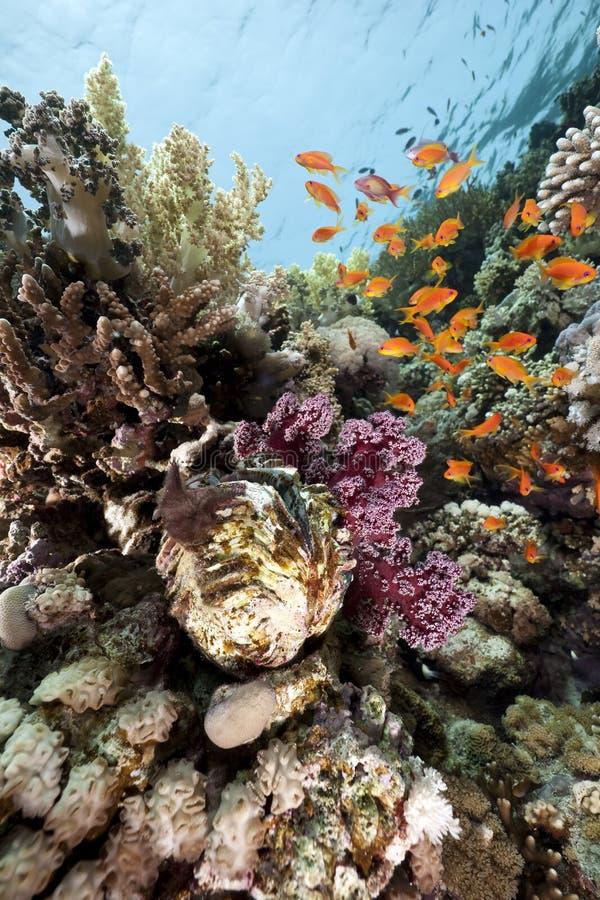 Almeja gigante y pescados en el Mar Rojo fotografía de archivo