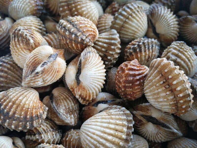 Almejas crudas de los berberechos del mar fotos de archivo libres de regalías
