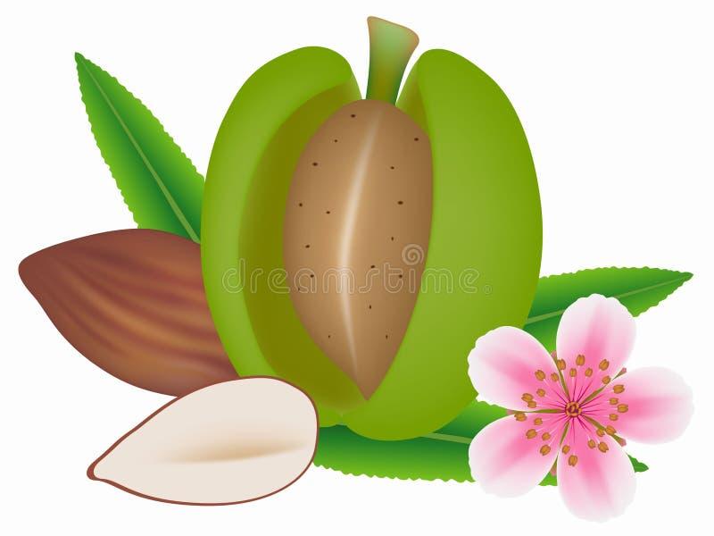 Almendra verde fresca con la flor y las nueces aisladas en un fondo blanco libre illustration
