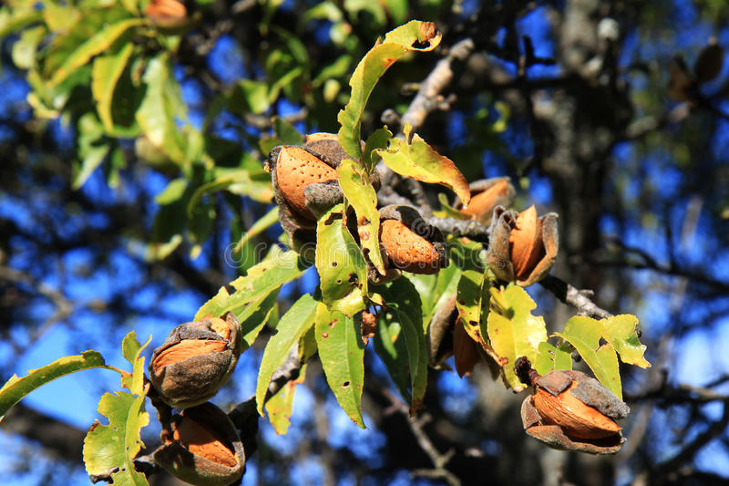Almendras en el árbol, Abruzos, Italia imagen de archivo