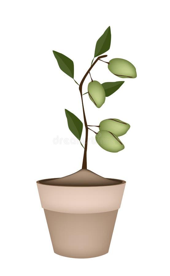 Almendras Inmaduras En árbol En Macetas De Cerámica Ilustración Del Vector Ilustración De Almendras Macetas 48269382