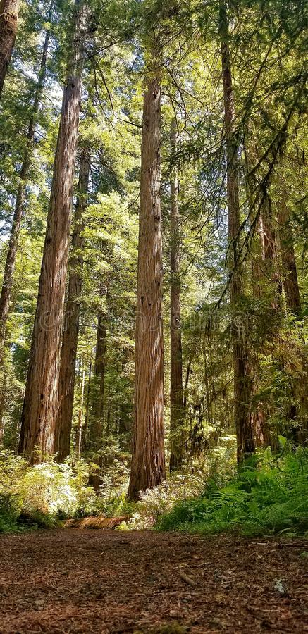 Almighty Redwoods of California Coast Line stock photos