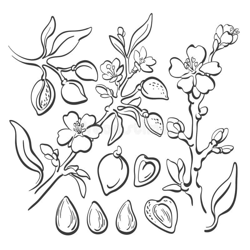 almira Гайка вектора естественная Линия набор искусства иллюстрация штока