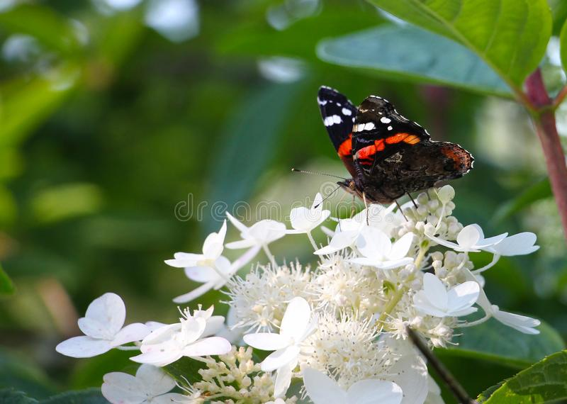 Almirante - atalanta de Vanesa, mariposa en las flores blancas, en fondo verde, espacio de la copia foto de archivo
