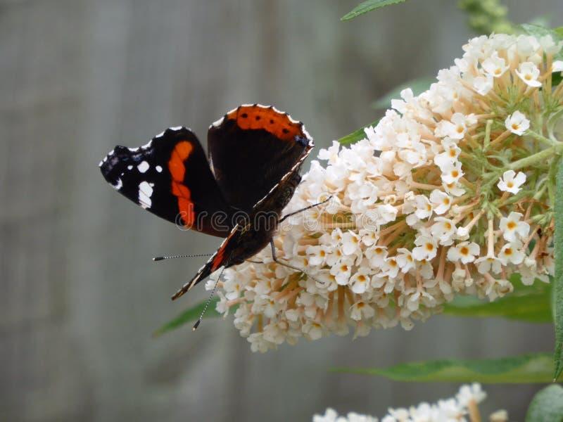 Almirante vermelho Butterfly imagens de stock royalty free