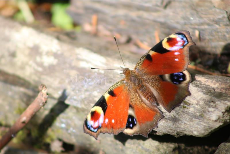 Almirante vermelho Butterfly fotografia de stock