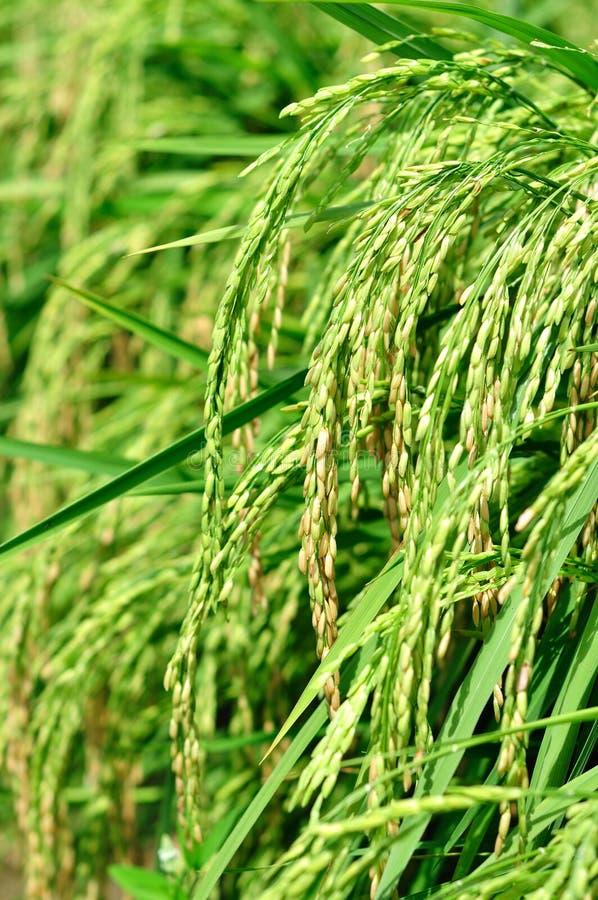 Almofada de arroz em um campo fotos de stock royalty free