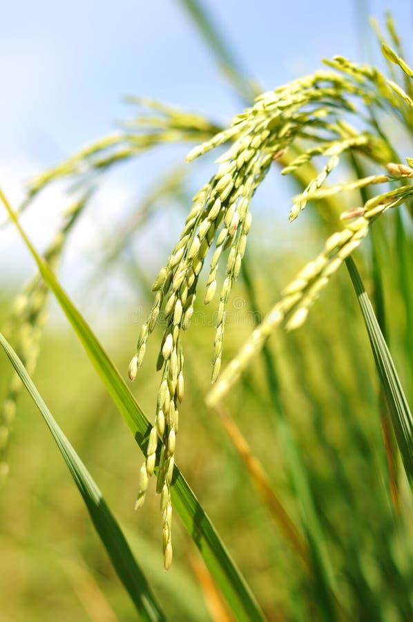 Almofada de arroz em um campo imagens de stock royalty free
