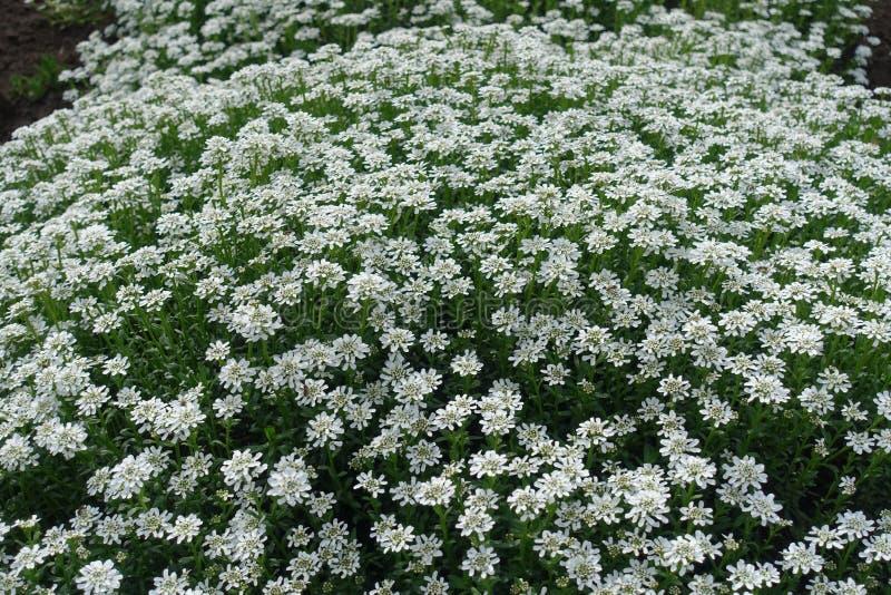 Almofada de flores de Iberis sempervirens em maio imagem de stock