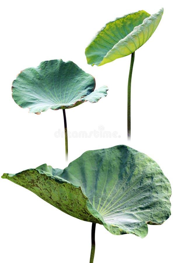 Almofada de lírio da folha de Lotus e botão dos lótus isolado no fundo branco fotografia de stock royalty free