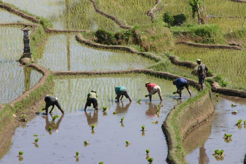Almofadas de arroz fotografia de stock