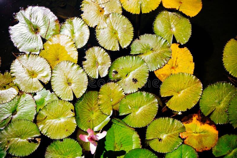 Almofadas de lírio de flutuação com uma única flor cor-de-rosa foto de stock royalty free