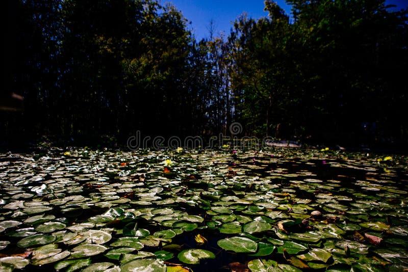 Almofadas de lírio verdes que flutuam na superfície de um lago imagem de stock