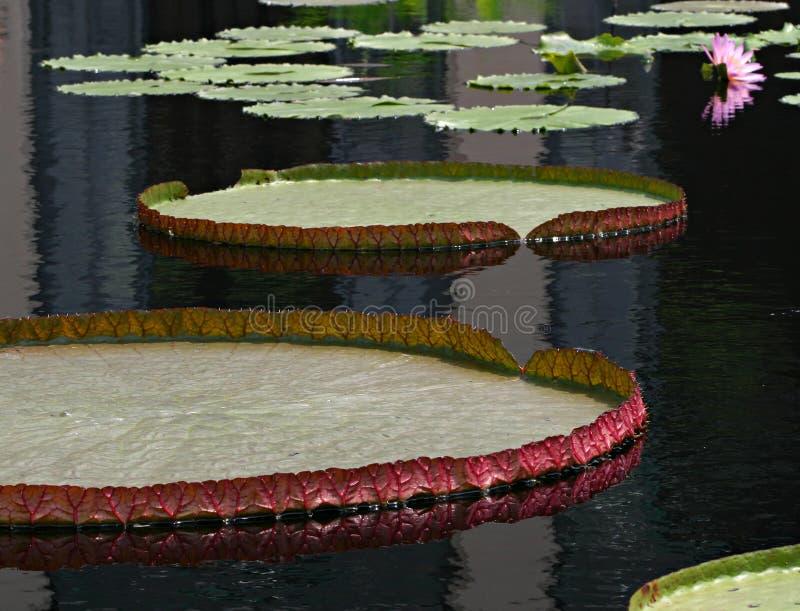 Download Almofadas de Lilly foto de stock. Imagem de lagoa, flores - 61782
