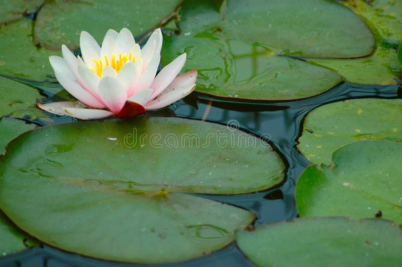 Almofadas de Lilly com flor. fotografia de stock royalty free