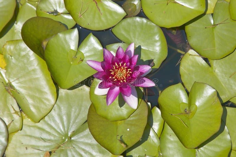 Almofadas de Lilly e flores de lótus nos jardins e na Casa de campo Ephrussi de Rothschild, Saint-Jean-tampão-Ferrat, França fotos de stock royalty free