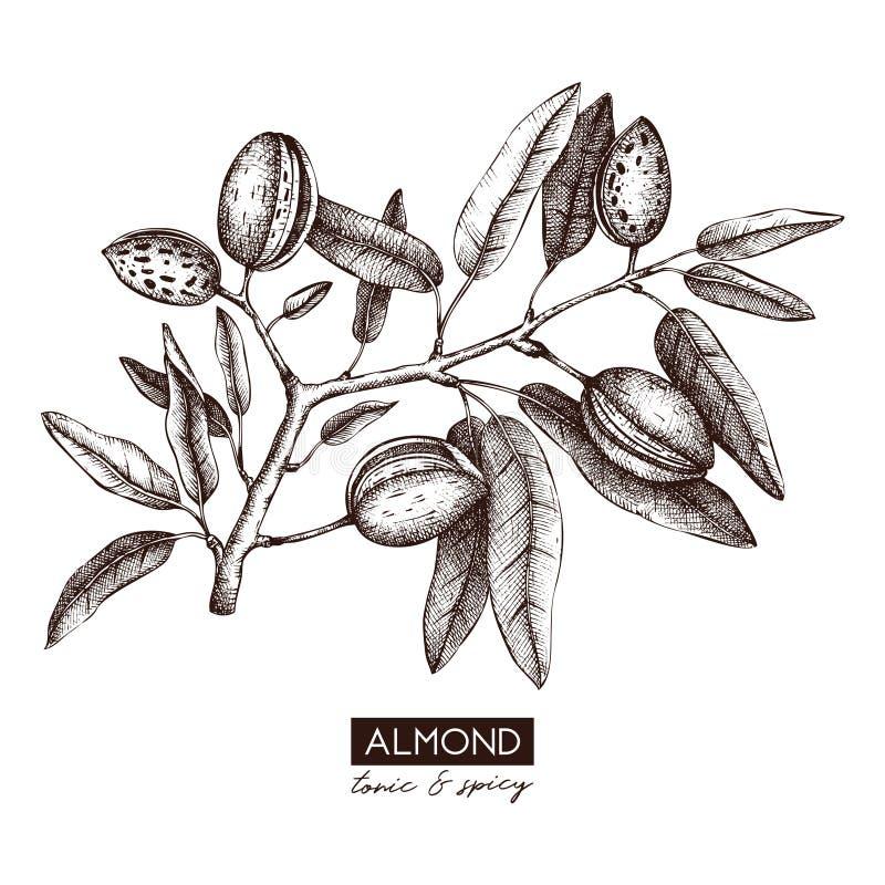 Vector Almond illustration. Hand drawn nut tree sketch. Botanical design template. Vintage tonic plant drawing royalty free illustration