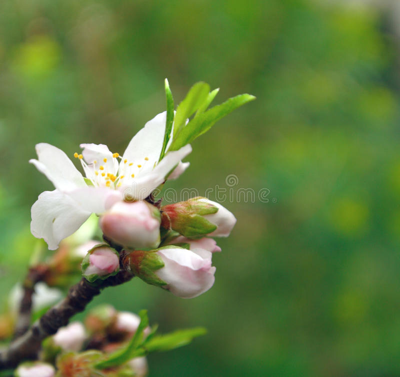 Download Almond blossom stock photo. Image of forestry, green - 13467440