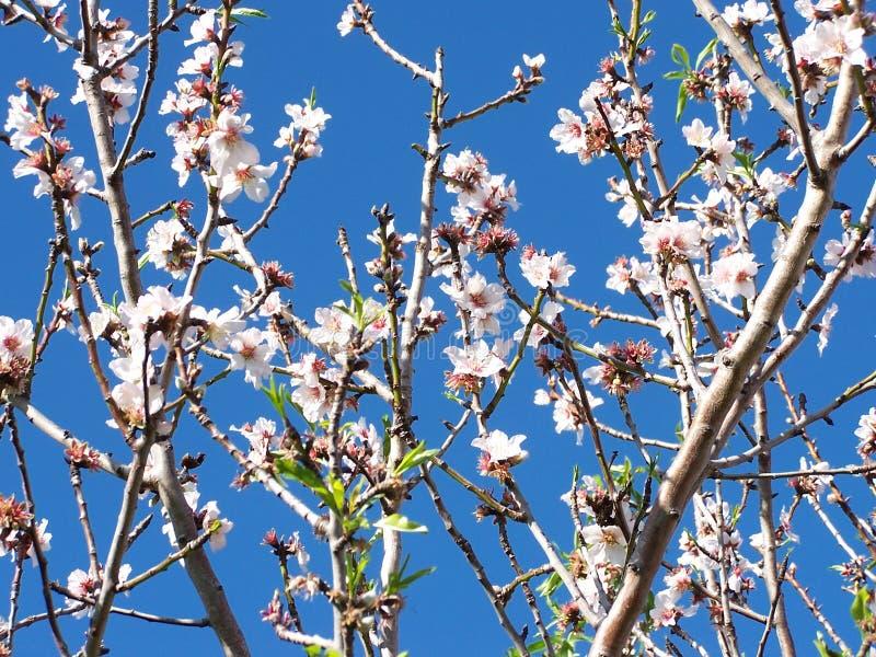 Almond Blossom stock photos