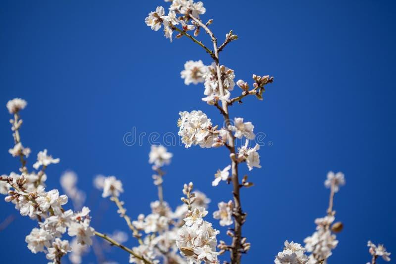 Almond blossom background royalty-vrije stock afbeeldingen