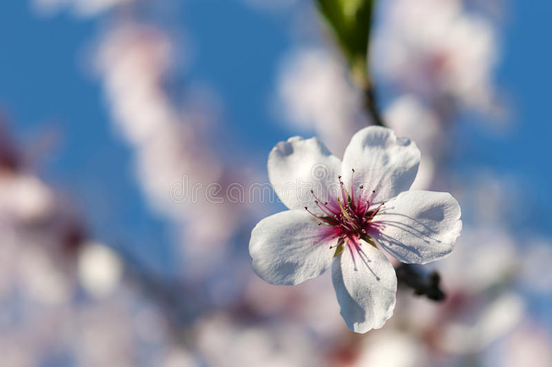 Almond blossom royalty free stock image
