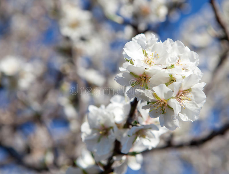 Download Almond blossom stock photo. Image of fresh, blossom, pink - 32348166
