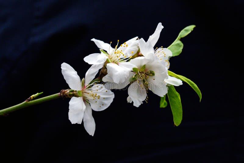 Almond blossom på svart royaltyfria foton