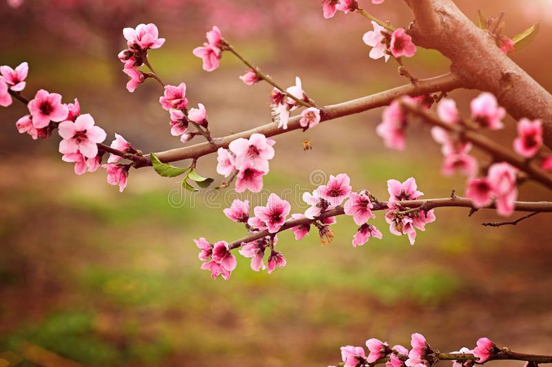 Almond blossom spring background. Beautiful pink spring tender flowers blossom. Pink almonds cherry flower close-up royalty free stock photo