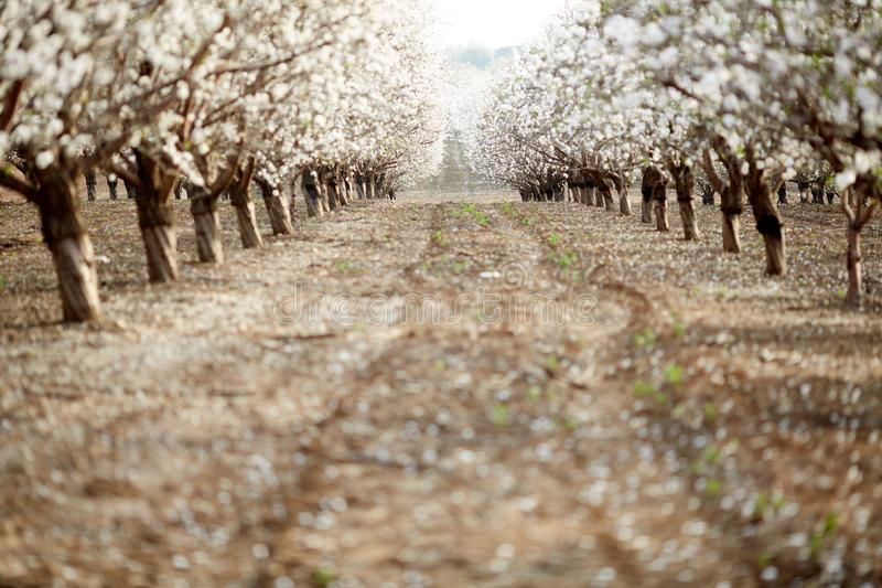 Almond Blossom in the spring on the island of Majorca, Balearic Islands. Spain, Europe stock photo