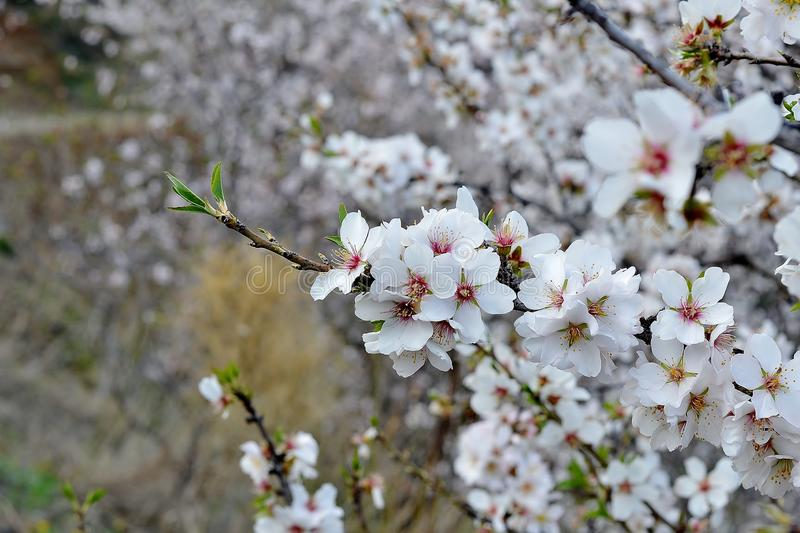 Download Almond blossom stock photo. Image of tree, spring, expensive - 37490482