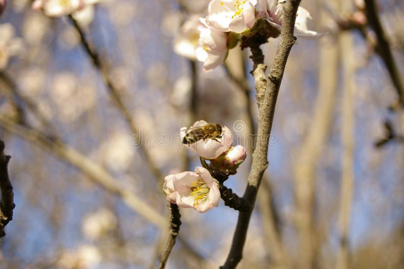 almond blossoms and buds on a tree with a bee stock photos