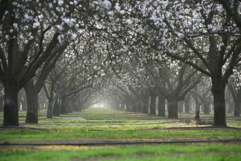 almond farm flower royalty free stock images