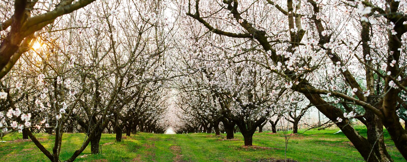 Almond Field At Sunset Royalty Free Stock Image