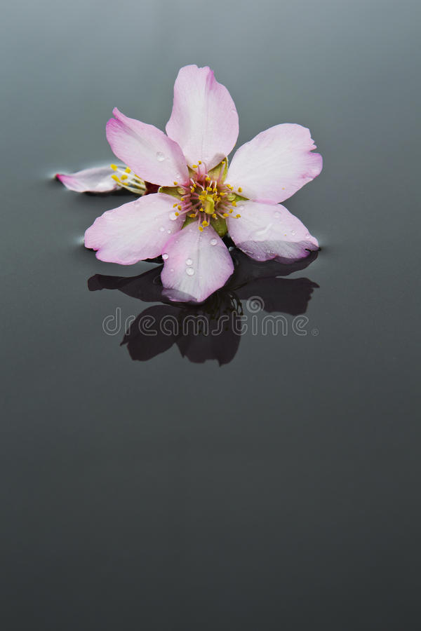 Almond flower isolated on black stock image