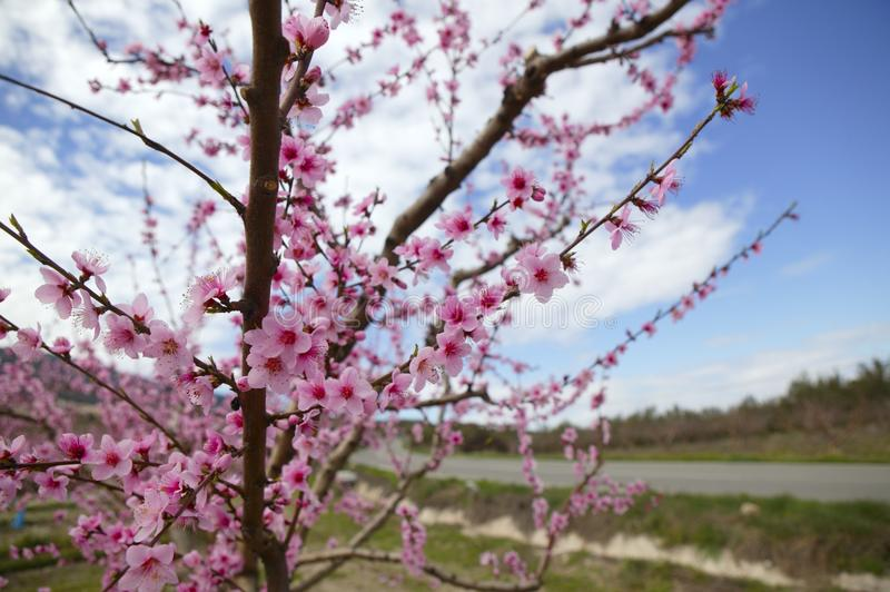 Download Almond Flower Trees Field  Pink White Flowers Stock Photo - Image: 12865448
