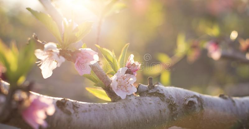 Almond flowers closeup on sunset Banner. royalty free stock photo