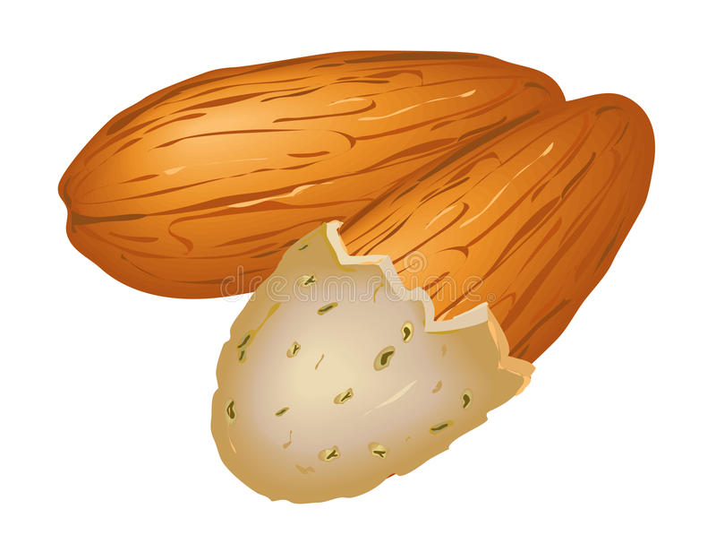 Almond nut royalty free illustration