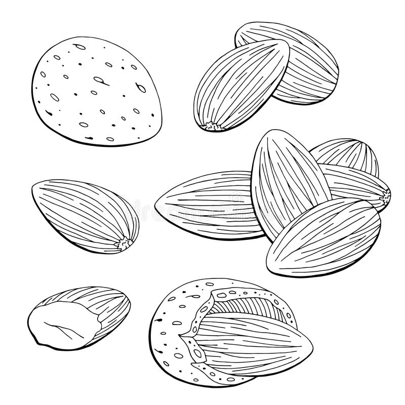 Almond nut graphic black white isolated sketch set illustration vector. Almond nut graphic black white isolated sketch set illustration vector illustration